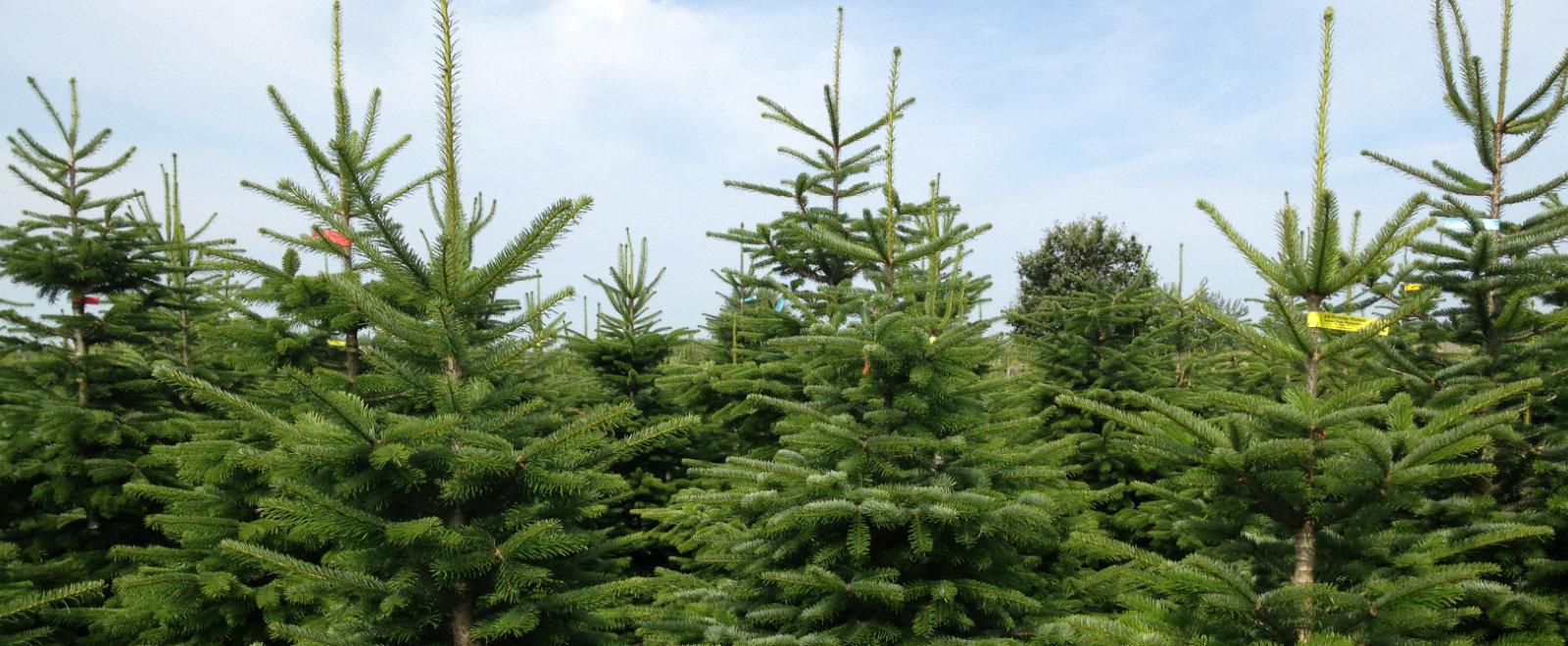 Tannenbaum Selber Schlagen.Weihnachtsmarkt Weihnachtsbaume Tannenbaum Bremen Achim Verden